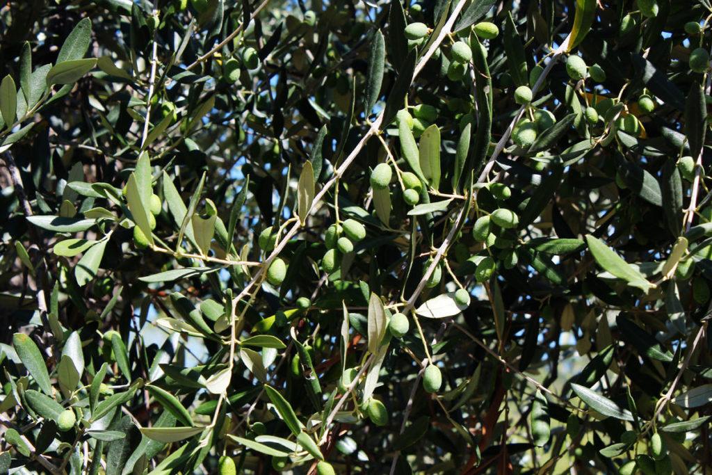 Olive Imperia