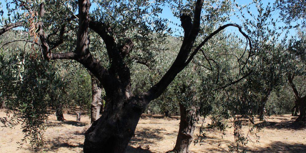 Olio extravergine d'oliva: l'oro pregiato, segreto della cucina imperiese
